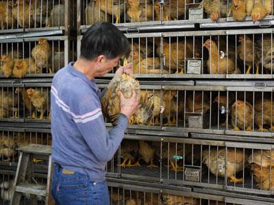 gripe aviar influenza aviar