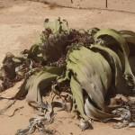 La extraña flor de Angola