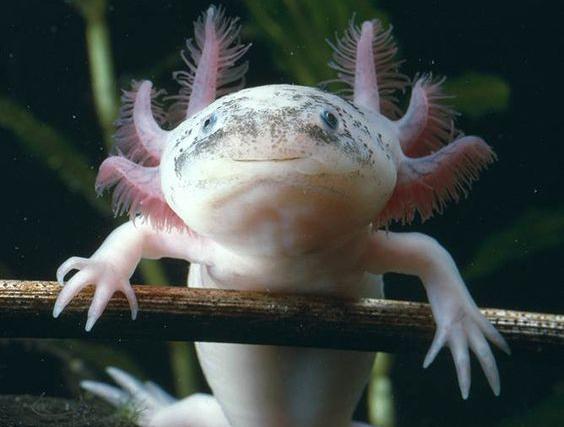 medidas para salvar a Axolotl