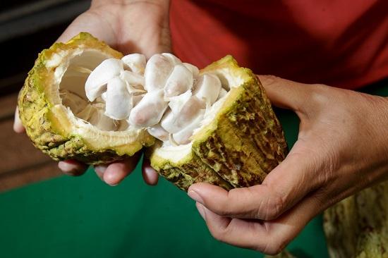 """clones"""" de plántulas de cacao mejorados"""